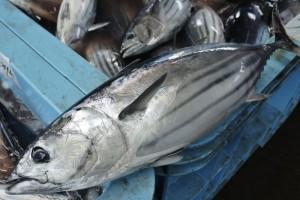 宮城県気仙沼港水揚げの鰹が入荷しました。